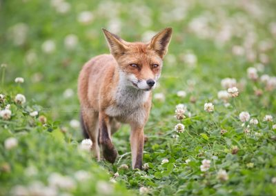 Red Fox walking through the fields looking for a prey