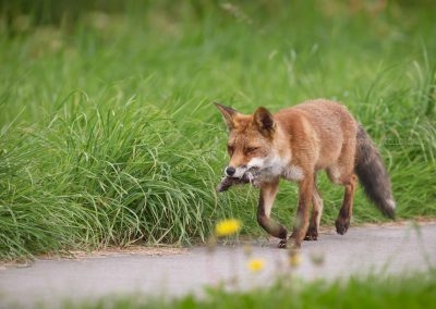 Red Fox with its beak full of catched mice