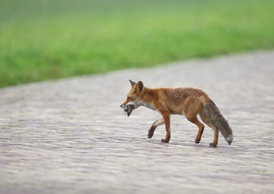 Red Fox crosses the road after hunting succesfully on mice which he carries in his beak