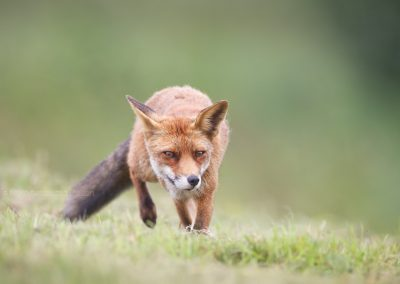 Red Fox sneaking through the field, hunting for a prey