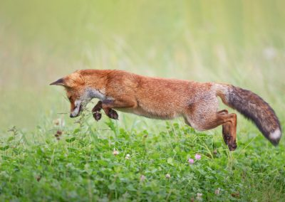 Red Fox jumps to a located prey