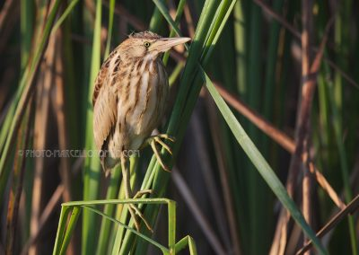 Young Little Bittern standing at the edge of the reedland