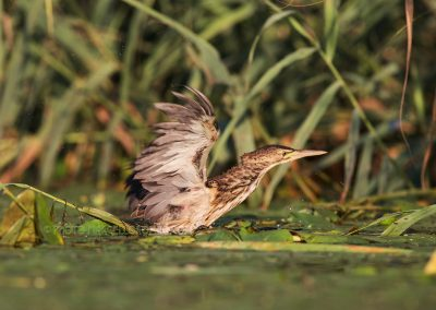 Little Bittern moving through the waterlillies