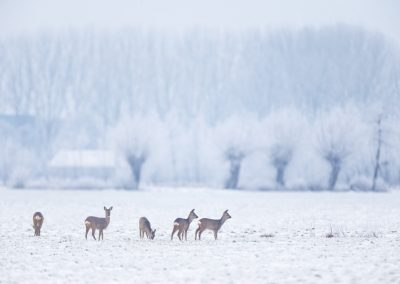 Roe Deer foraging in the with frost and snow covered meadow
